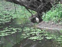 Little egret (Egretta garzetta) looking for food Stock Photos