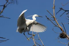 Little Egret Egretta Garzetta Stock Images