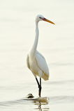 Little egret (egretta garzetta) Stock Photo