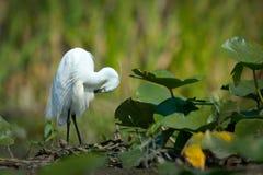 Little egret (egretta garzetta) Royalty Free Stock Photos