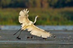 Little egret (egretta garzetta) in natural habitat Stock Photos