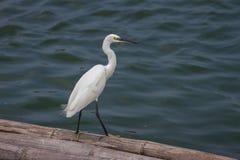 Little egret, Egretta garzetta Stock Photography