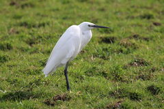 Little Egret (Egretta garzetta). This picture shows a side view of a little egret in a green, grassy field Royalty Free Stock Photo