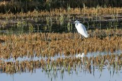 Little egret Egretta garzetta on the rice paddy in the natural park of Albufera, Valencia, Spain, Europe royalty free stock photos