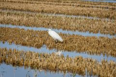 Little egret Egretta garzetta on the rice paddy in the natural park of Albufera, Valencia, Spain royalty free stock images