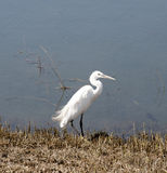 Little egret egretta garzetta by a river Stock Image