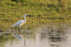Little egret (Egretta Garzetta) in shallow water. Little egret (Egretta Garzetta) standing in shallow water at dawn in Isola della Cona reserve Stock Image