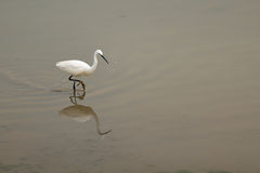 Little egret (Egretta Garzetta) in shallow water Stock Photography