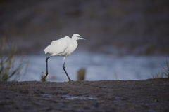 Little egret, Egretta garzetta Royalty Free Stock Photo