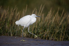 Little egret, Egretta garzetta Stock Photos