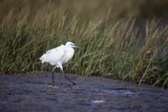 Little egret, Egretta garzetta Stock Photography
