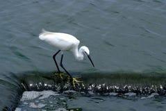 Little Egret. (Egretta garzetta), single bird standing in water Stock Photography