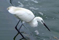 Little Egret. (Egretta garzetta), single bird standing in water Royalty Free Stock Photos