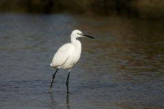 Little egret,  Egretta garzetta Royalty Free Stock Image