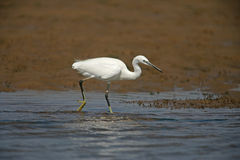 Little egret, Egretta garzetta Stock Images