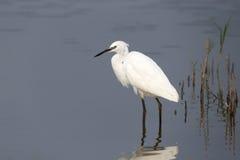 Little egret, Egretta garzetta Stock Images