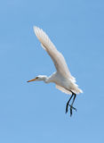 Little Egret (Egretta Garzetta) in the sky Royalty Free Stock Photography