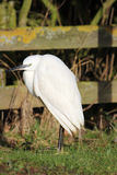 Little Egret Egretta garzetta small white heron Stock Images