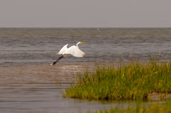 Little Egret Egretta garzetta small white heron Royalty Free Stock Images