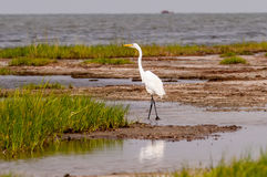Little Egret Egretta garzetta small white heron Stock Photo