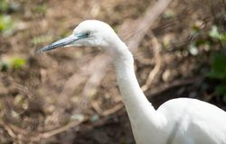 Little white egret portrait close up. The little egret, Egretta garzetta, is a species of small heron in the family Ardeidae. It is a white bird with a slender royalty free stock images