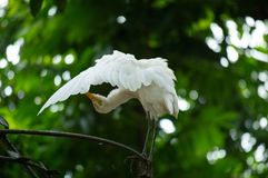 Little Egret Egretta Garzetta spread wings cleaning feather at branch Stock Photo