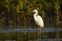 Little Egret - Egretta Garzetta standing on the beach during low tide and hunting crabs. Little Egret - Egretta Garzetta small white heron standing on the beach stock image