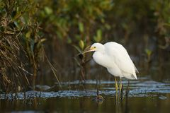 Little Egret - Egretta Garzetta standing on the beach during low tide and hunting crabs. Little Egret - Egretta Garzetta small white heron standing on the beach royalty free stock image