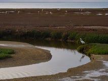Little Egret or Egretta garzetta standing on marshes bank with w. Little Egret or Egretta garzetta standing on marshes area bank with wetland plant adjacent to Royalty Free Stock Image