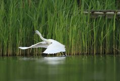 Little Egret Egretta Garzetta start flying Stock Photo