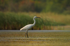 Little Egret (Egretta garzetta). Royalty Free Stock Photos