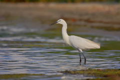 Little Egret (Egretta garzetta). Stock Photography
