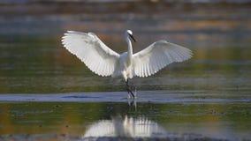 Little Egret (Egretta garzetta). Royalty Free Stock Images