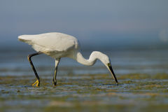 Little Egret (Egretta garzetta). Royalty Free Stock Images