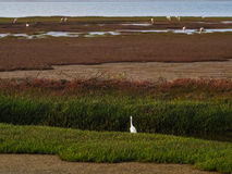 Little Egret or Egretta garzetta turning back standing on marshe. S area bank with abundant wetland plant adjacent to ocean coast Stock Photography