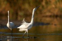 Little egret Egretta garzetta, two birds mating dance Royalty Free Stock Images