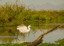 Little Egret at a lagoon royalty free stock images