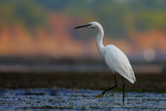 Little egret/Egretta garzetta. Royalty Free Stock Image