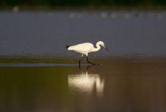 Little Egret - Egretta Garzetta Royalty Free Stock Photography