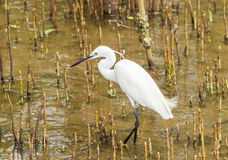 The Little Egret (Egretta garzetta) walking Royalty Free Stock Photo