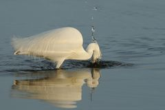 Little Egret (Egretta Garzetta). This white heron is trying to catch a fish Stock Photos