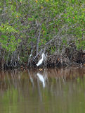Little Egret at Everglades National Park Royalty Free Stock Photos