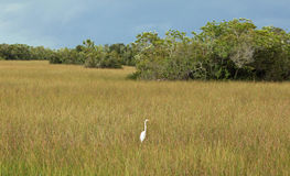 Little Egret at Everglades National Park Stock Images