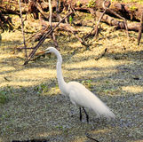 Little Egret at Everglades National Park Stock Photo