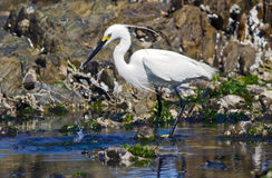 Little egret feeding Stock Photography