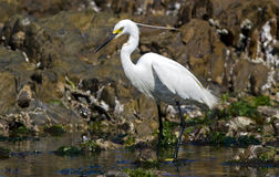 Little egret feeding Stock Photo