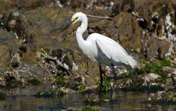 Little egret feeding Stock Photo