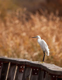 A Little Egret on a fence Stock Images