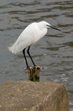 Little egret fisging on the river stour in dorset. Little egret waiting for fish on the flooded river stour in dorset southern England royalty free stock photos