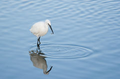 Little Egret with fish Royalty Free Stock Photo
